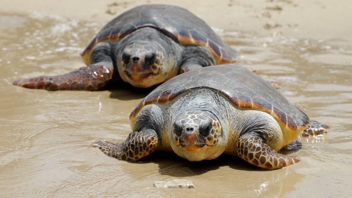 Baby Sea Turtles On Beit Yannai Beach Reserve Photo By Gili Yaari Flash90