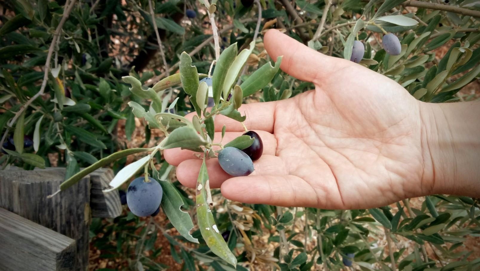 olive-hand.jpg