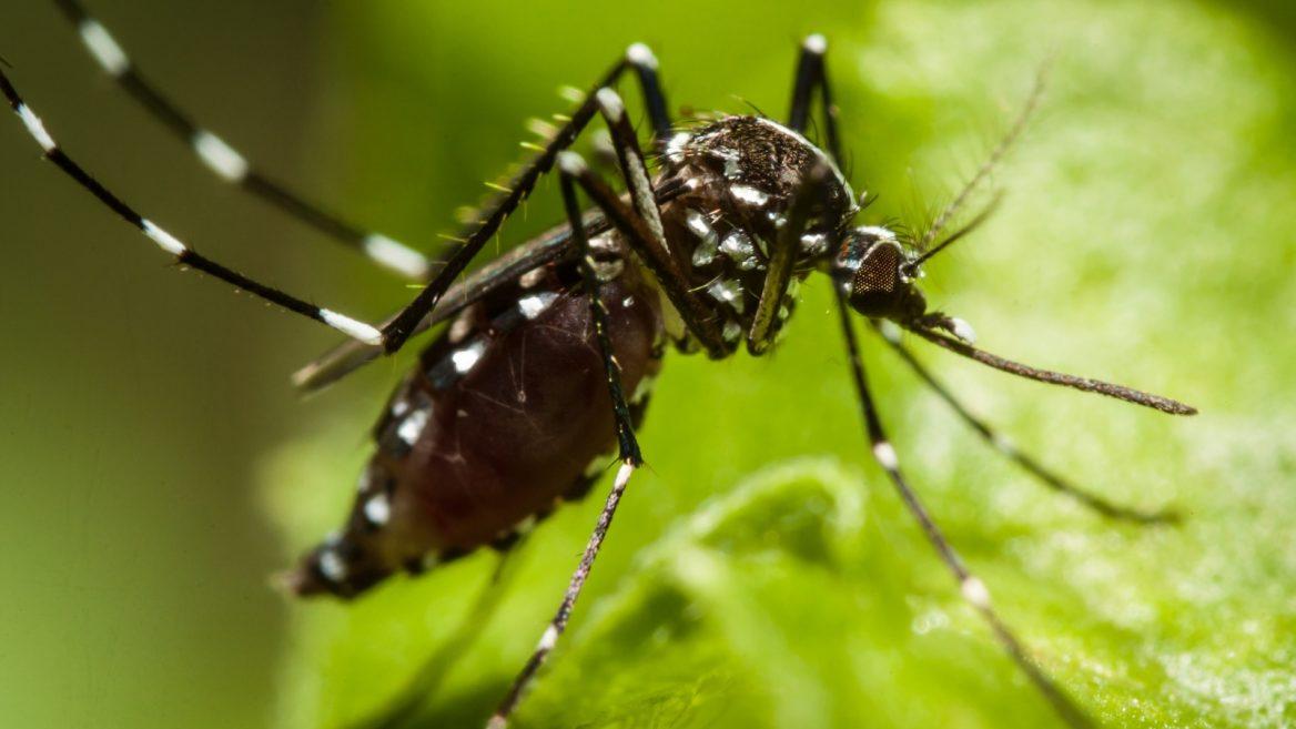 Milliarden von sterilen Moskitos sollen tropische Fieber bekämpfen