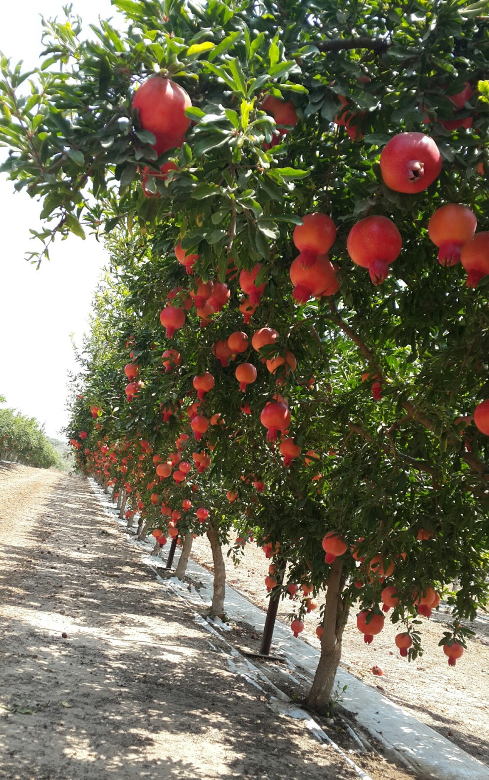 The Emek pomegranate cultivar developed in Israel yields fruit unusually early in the season. Photo courtesy of Newe Ya'ar Research Center