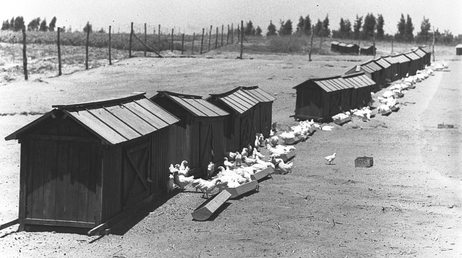 A chicken farm at Kfar Warburg, 1938. Photo by Zoltan Kluger for GPO/from the National Photo Collection of Israel