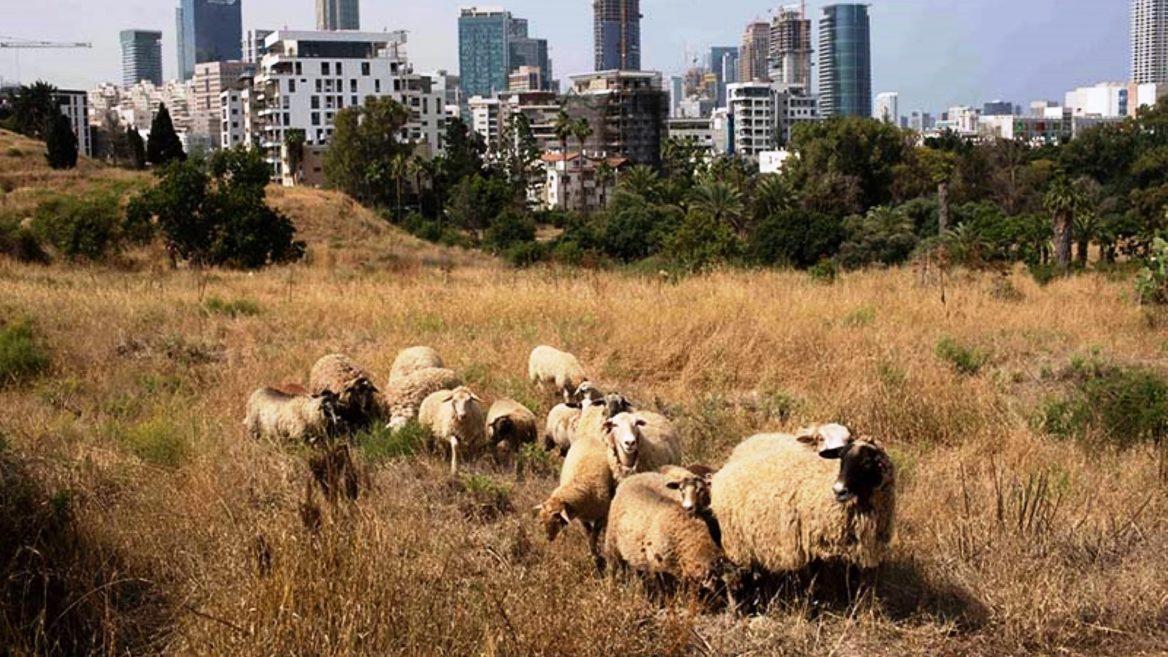 16 sheep and 2 border collies tend urban park in Tel Aviv