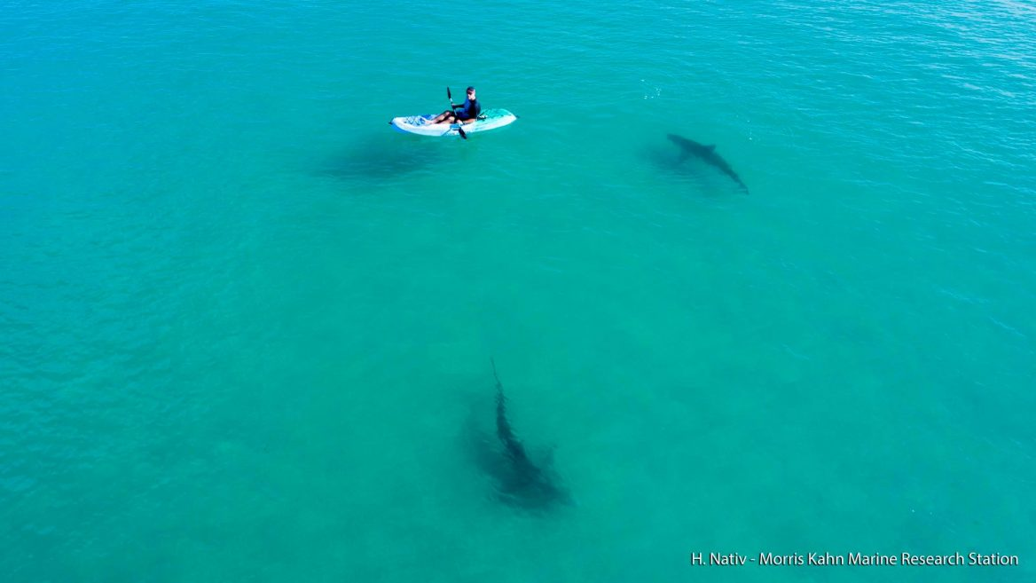 New shark migration to Israel opens rare research window