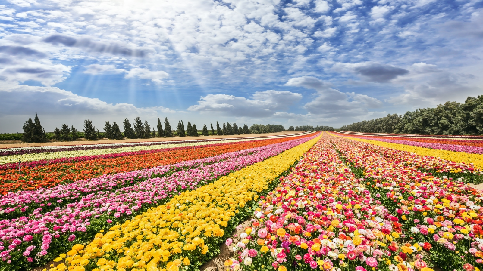A Valentine's Day look at Israel's flower industry - ISRAEL21c