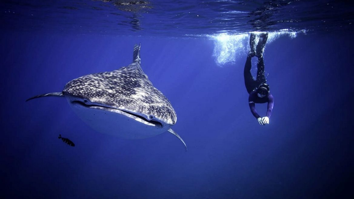 Rare whale shark surprises Israeli Red Sea ranger | ISRAEL21c
