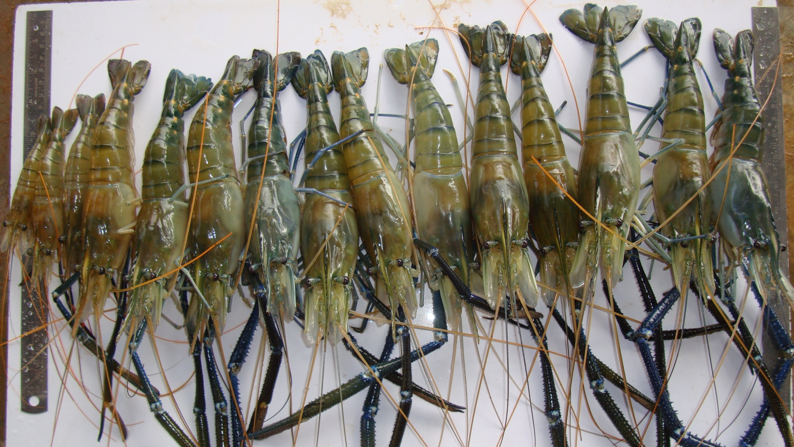 'Super shrimp'may prevent a disease that affects millions - ISRAEL21c