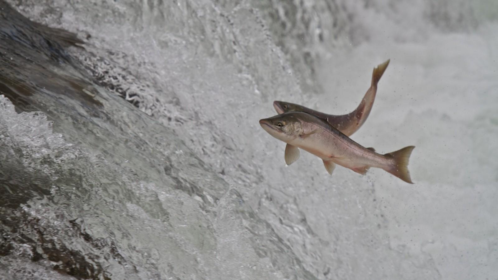 Nevada's West Coast Salmon to use Israeli fish-farm tech - ISRAEL21c
