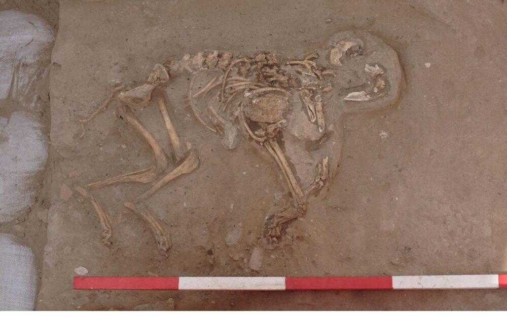 El antiguo esqueleto de un cachorro enterrado en Ashkelon. Dos tercios de las tumbas descubiertas pertenecen a cachorros. Foto cortesía de la expedición Leon Levy a Ashkelon
