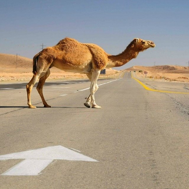 A camel searches for some directions. #Camel #Nature #Animals #ISRAEL21c ↖↗↘↙ Photo by  Oleg Zaslavsky