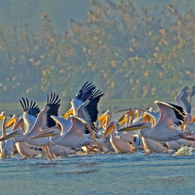 Pelicans flock to Lake Hula in Israel as part of their migration pattern. #Summer #Animals #Nature #Beauty  #ISRAEL21c