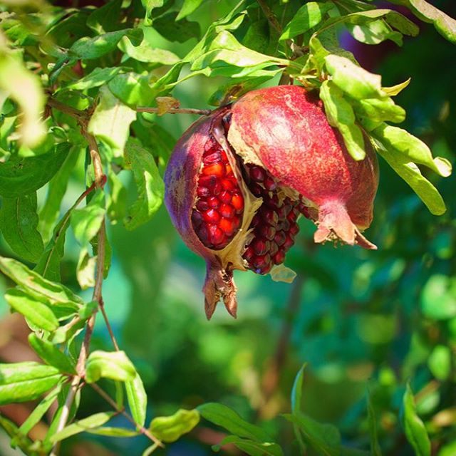 A pomegranate opening in Jerusalem...just in time for Sukkot! Yum!  #Pomegranate #Jersualem