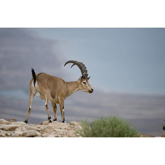 An ibex in the Negev...simply stunning!