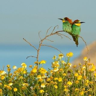 The European Bee-Eater is one of the thousands of birds that call Israel home. #Israel #Birds