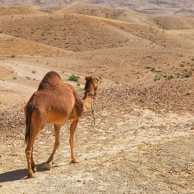 Who is up for a camel ride through the Negev? #Israel #Negev #camel