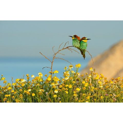 The European Bee Eater is just one of the thousands of birds that call Israel home. #Israel #Birds