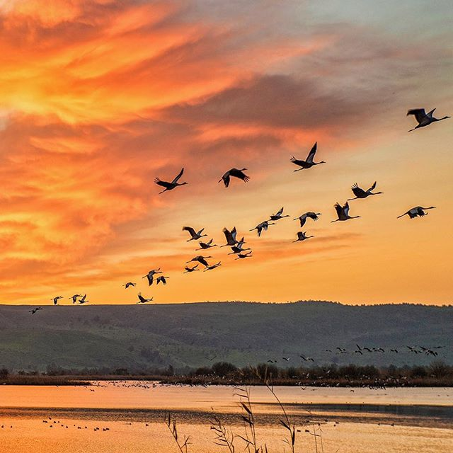 Migrating #cranes over #Israel\'s Hula Lake Reserve.