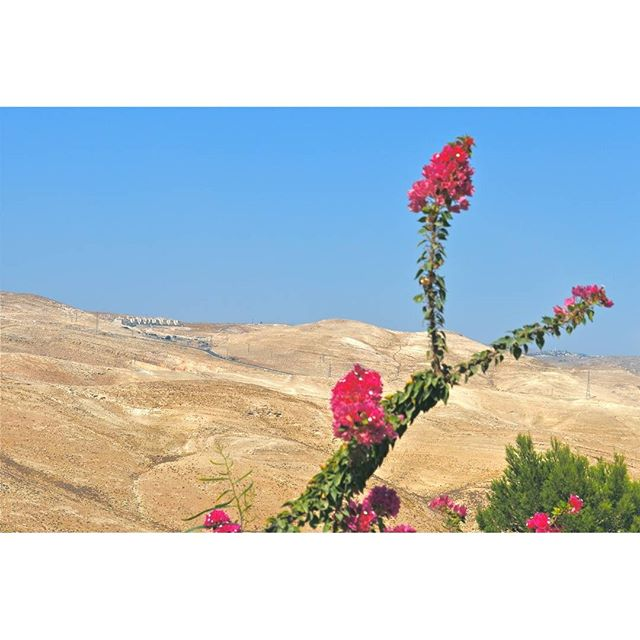 A bougainvillea in #MaaleAdumim adds a touch of red to the Judean Desert.  Photo Credit: Daniel Santacruz