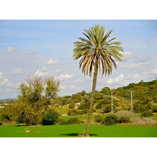 A palm tree takes center stage in a field in the outskirts of Bet Shemesh.  Photo Credit: Daniel Santacruz
