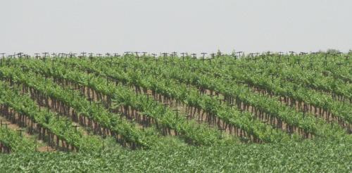 Flam vineyard