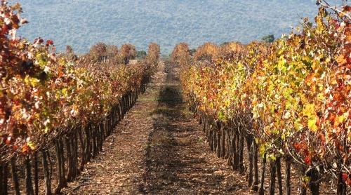 Israel Kayoumi vineyard