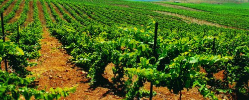 Carmel Winery's Kayoumi vineyard