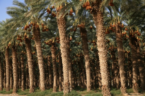 Trees in Israel's Negev desert
