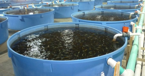 Raising Fish In The Desert Israel21c