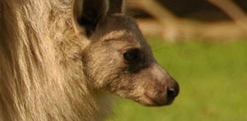 Kangaroo lumpy jaw
