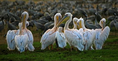 Pelicans in Israel
