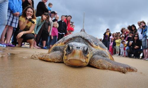 Sea turtle viewers