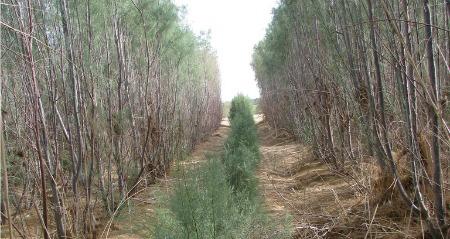 Tamarix grove