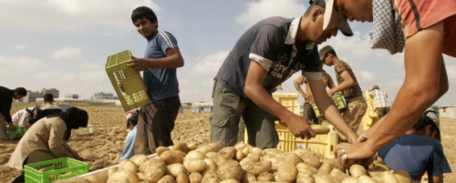 Potato-growers-in-hot-dry-climate