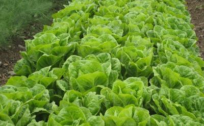 Har Prachim lettuce
